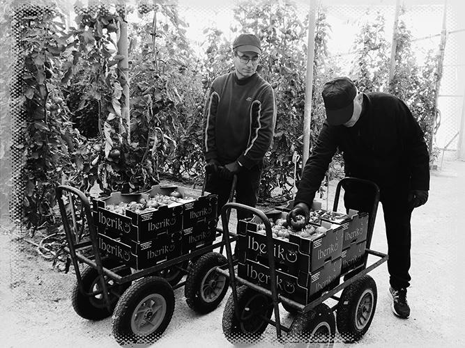 Cultivo del tomate dulce de Almería